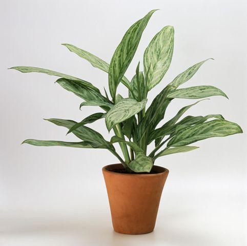 тенелюбивые комнатные растения_2
