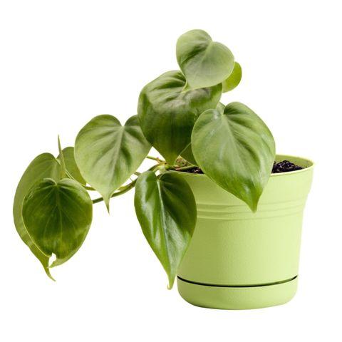 тенелюбивые комнатные растения_5