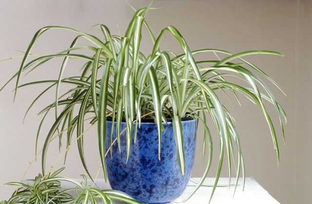 тенелюбивые комнатные растения_6