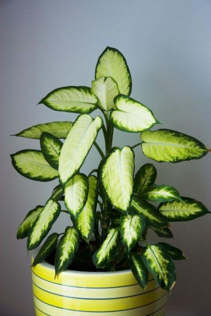 тенелюбивые комнатные растения_8