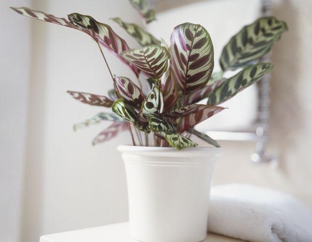 тенелюбивые комнатные растения_9