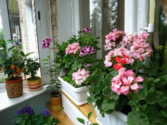 зимний сад на балконе_3